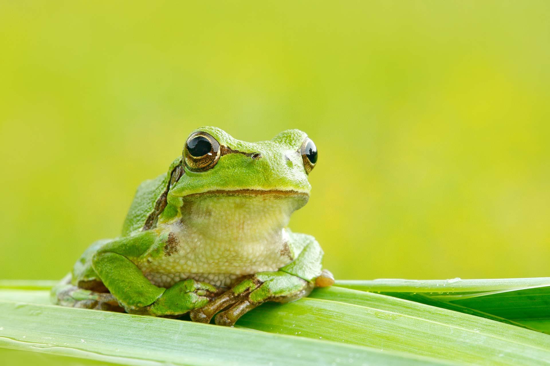 Umweltschutz - Europäischer Laubfrosch sitzt auf einem Blatt