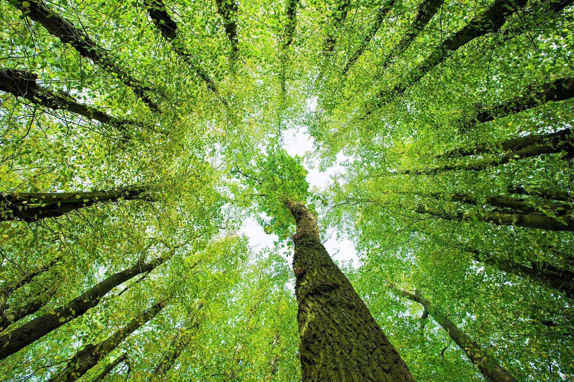 Umweltschutz - Blick nach oben im Wald, Baumkronen von unten